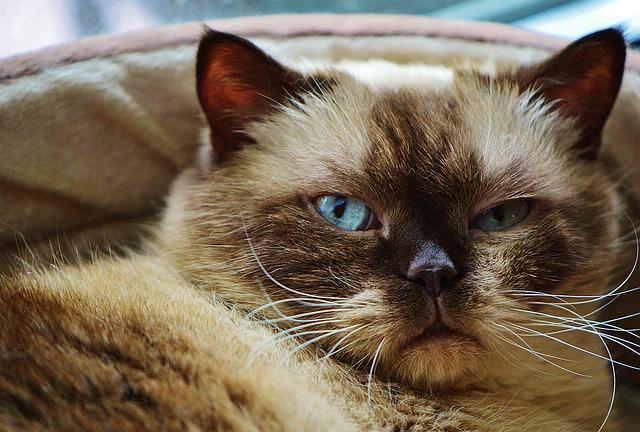 koty syberyjskie